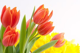tulips-627359__180